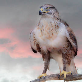 Barbara Manis - Ferruginous Hawk at Dusk