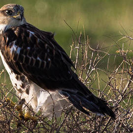 John Daly - Ferruginous Hawk