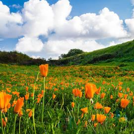 Mary Sheft - Field of California Poppies