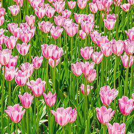 Alexander Senin - Field Of Pink Tulips