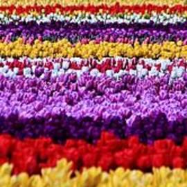 Benjamin Yeager - Fields of Flowers Panorama