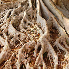 Anna Lisa Yoder - Fig Tree Roots in Balboa Park