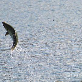 Mike  Dawson - Fighting Chinook Salmon