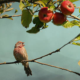 Peggy Collins - Finch Singing in an Apple Tree