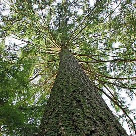 Nancy Harrison - Fir Tree