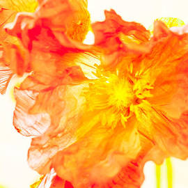 Isabel Laurent - Fire Poppy