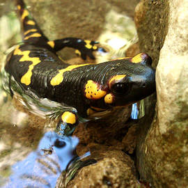 Lucy D - Fire Salamander