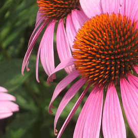 Cheryl Hardt Art - First Cone Flower