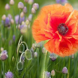 Ludmila Nayvelt - First Poppy