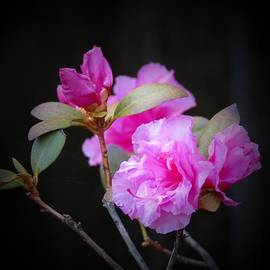 MTBobbins Photography - First Rhododendron Flowers