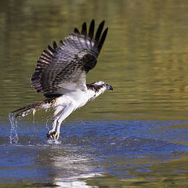 Ruth Jolly - fishing Osprey
