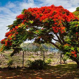 Jenny Rainbow - Flamboyant in Glorious Bloom. Mauritius