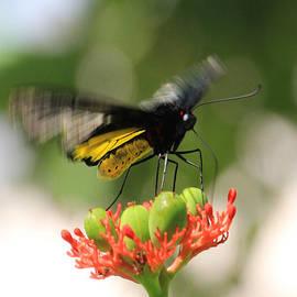 Rosalie Scanlon - Flapping Wings