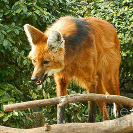 Emmy Marie Vickers - Flashing My Fangs - Maned Wolf