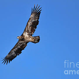 Jack Schultz - Fledgling Bald Eagle 5048
