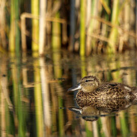 James Peterson - Fledgling Blue-winged Teal
