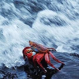 Sarah Pemberton - Fleeing Crab