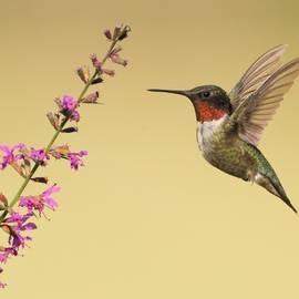 Daniel Behm - Flight of a Hummingbird