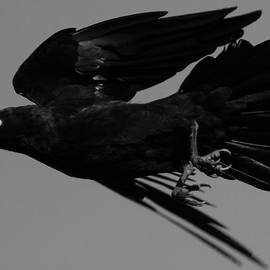 Bruce J Robinson - Flight of the Raven