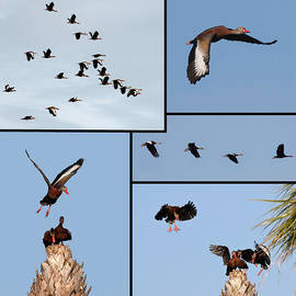 Dawn Currie - Flight of the Whistling Duck
