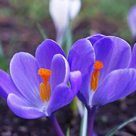 Baslee Troutman - Floral Garden Purple Crocus Flower Art Prints