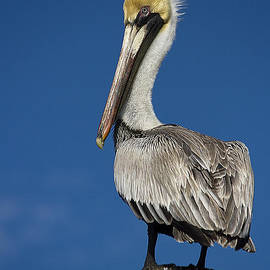 Anne Rodkin - Florida Birds - Brown Pelican