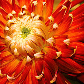 Mike Savad - Flower - Dahlia - Nature