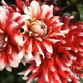 Joy Watson - Flower-dahlia-red-white-trio