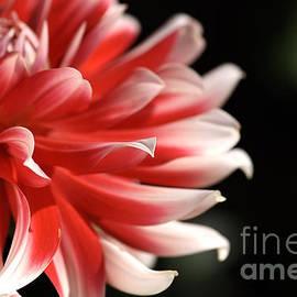 Joy Watson - flower-Dahlia-white-red