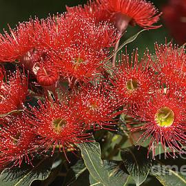 Joy Watson - Flower-eucalyptus-red-flora