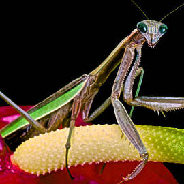 Leslie Crotty - Praying Mantis Taking A Walk While Looking Right At Me