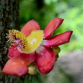 Imran Ahmed - Flower of Cannonball Tree Singapore