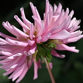 Joy Watson - Flower-pink Dahlia-bloom
