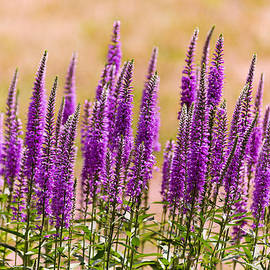 Mike Savad - Flower - Speedwell figwort Family - I dream of lavender