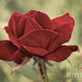 Luther  Fine Art - Flower -  Victorian Rose - Luther Fine Art