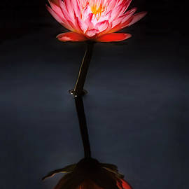 Mike Savad - Flower - Water Lily - Nymphaea Jack Wood - Reflection