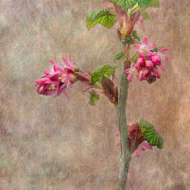 Angie Vogel - Flowering Currant