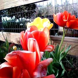 Gardening Perfection - Flowering Tulips