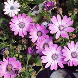 Tom Druin - Flowers...silky Pink