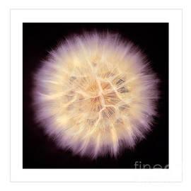 Jerry Cowart - Fluffy Pastel Dandelion Flower