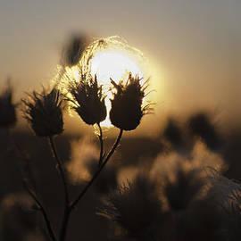 Vlad Baciu - Fluffy Weed At Sunset