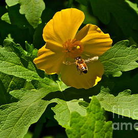 Byron Varvarigos - Flying Bee and Wood Poppy