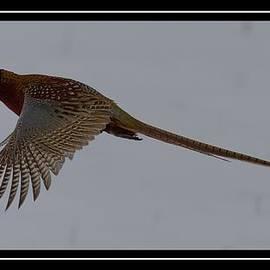 Ed Dawson - Flying Pheasant
