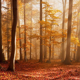 Milan Gonda - Foggy Beech Forest