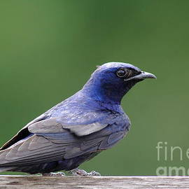 Robert Frederick - For Purple Martin