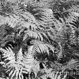 Connie Fox - Forest Fern