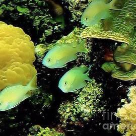 Janette Boyd - Four Chromis Green Fish
