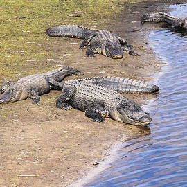 Rosalie Scanlon - Four Napping Alligators