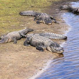 Rosalie Scanlon - Four Napping Alligators