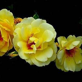 Janette Boyd - Four Stages of Bloom of a Yellow Rose